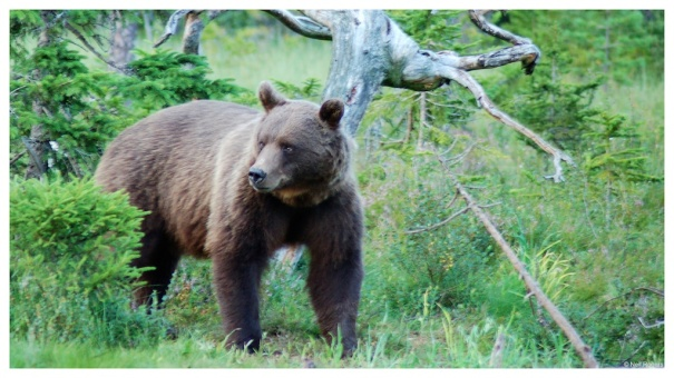 European Brown Bear #2